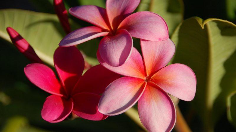 Plumeria - Hawaii